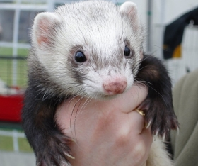 ferret ferrets became pets
