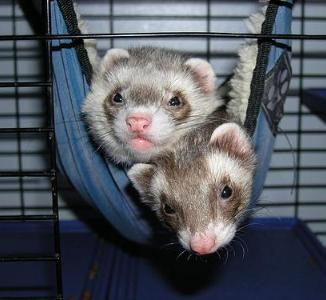 And the extended anus in ferrets well!
